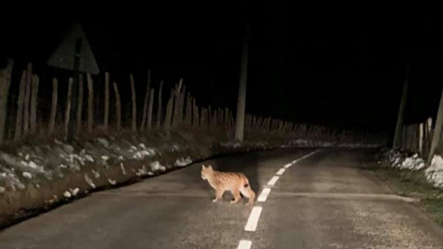 Isère : un lynx photographié en Chartreuse !