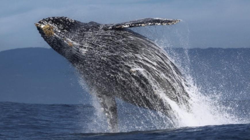 Insolite - Une baleine gobe, et recrache un pêcheur