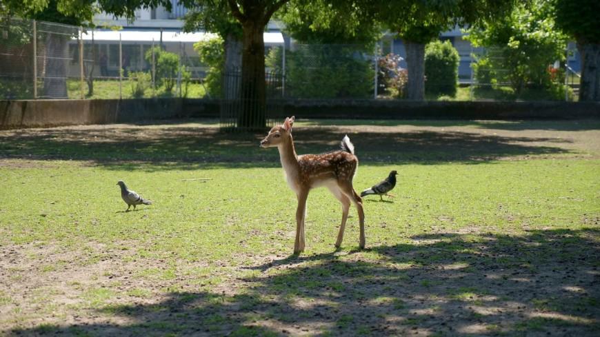 VOIRON - Un petit faon naît au sein du parc de la ville !