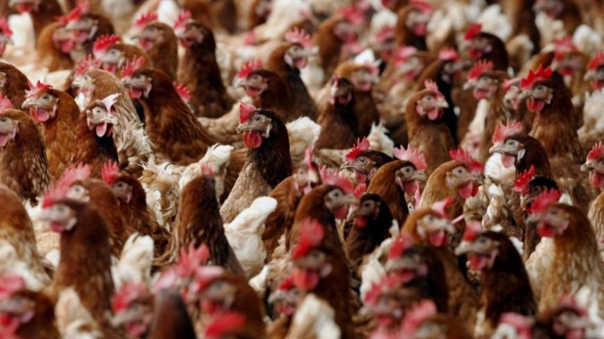 Près de 70000 poules trouvent la mort dans un incendie près de Grenoble