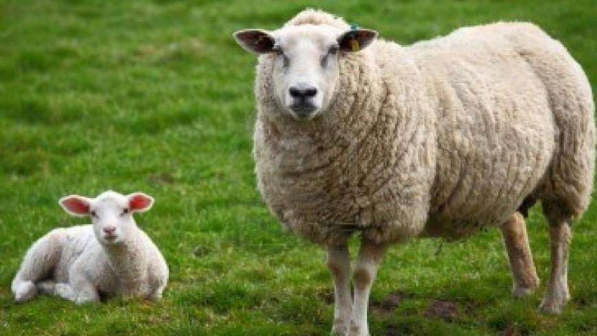 Grenoble: le retour des moutons à la Bastille