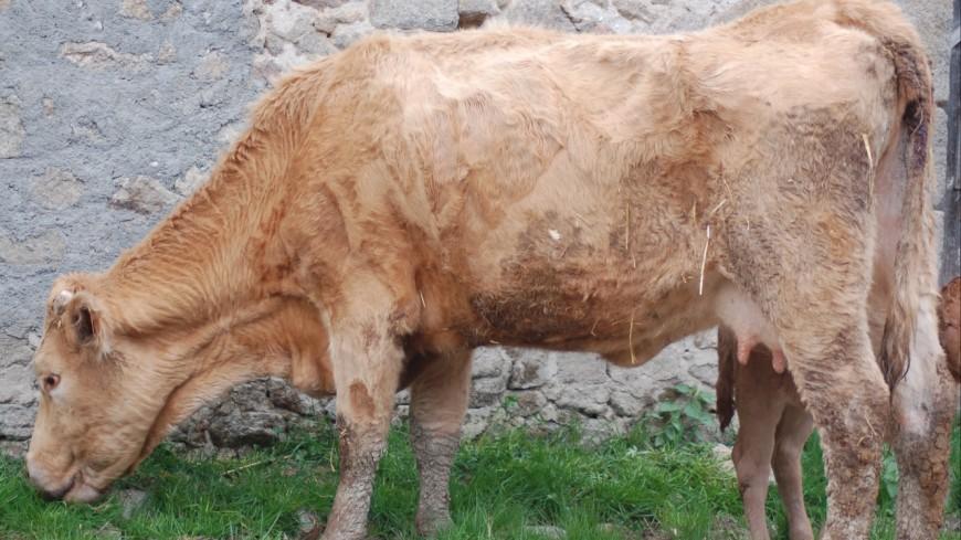 Un éleveur de St Marcellin en prison, ses animaux livrés à eux-mêmes.